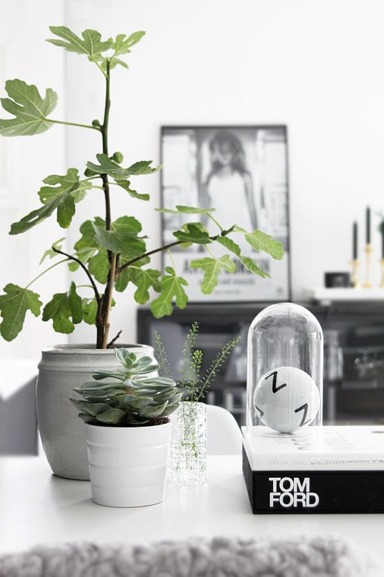 figtree and green plants for living room decoration